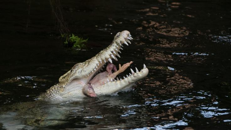 In Indien hat ein Arzt 50 Männer ermordet und ihre Leichen anschließend an Krokodile verfüttert. (Foto)