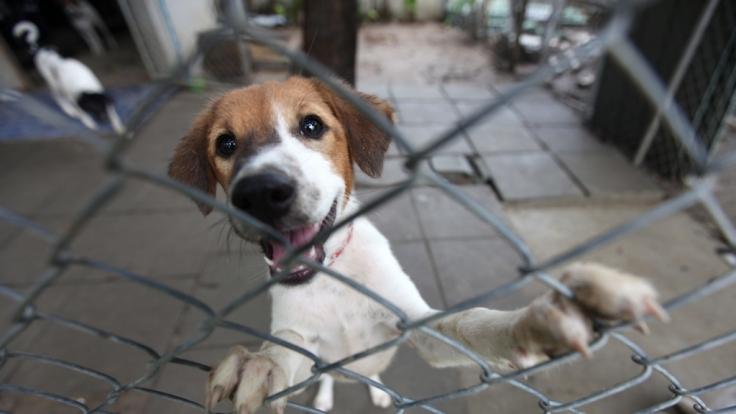 Den Straßenhunden in Russland geht es an den pelzigen Kragen - Schuld ist die bevorstehende Fußball-WM. (Foto)