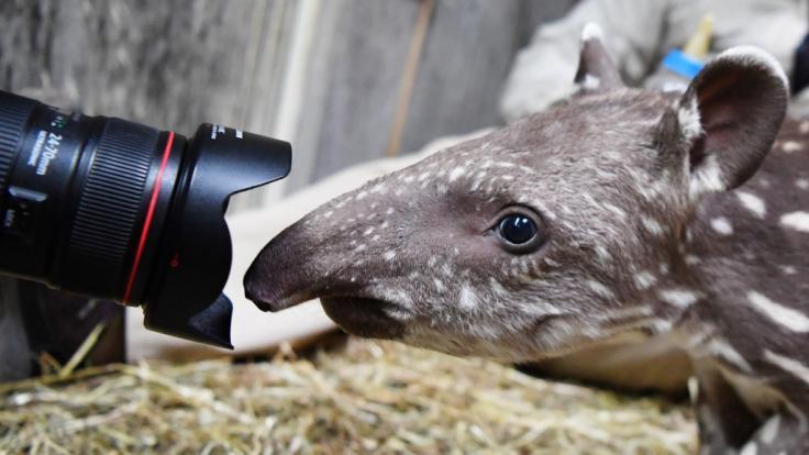 Dieses Tapir-Baby schnuppert bei einem Pressetermin im Zoo Magdeburg an der Kamera eines Fotografen.