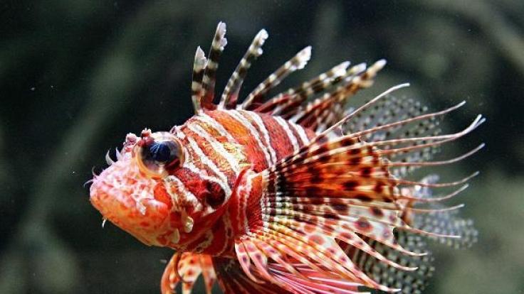 Der hochgiftige Rotfeuerfisch bedroht Europas Badestrände.
