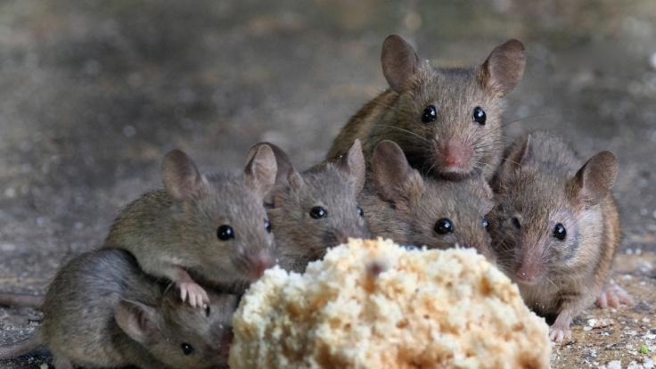Australien ächzt unter einer Mäuseplage. Besonders besorgniserregend: Die Fälle der tödlichen Seuche beim Menschen häufen sich. Die Krankheit wird von den Nagern übertragen. (Foto)