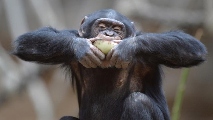Was knutscht denn der Schimpanse da? (Foto)
