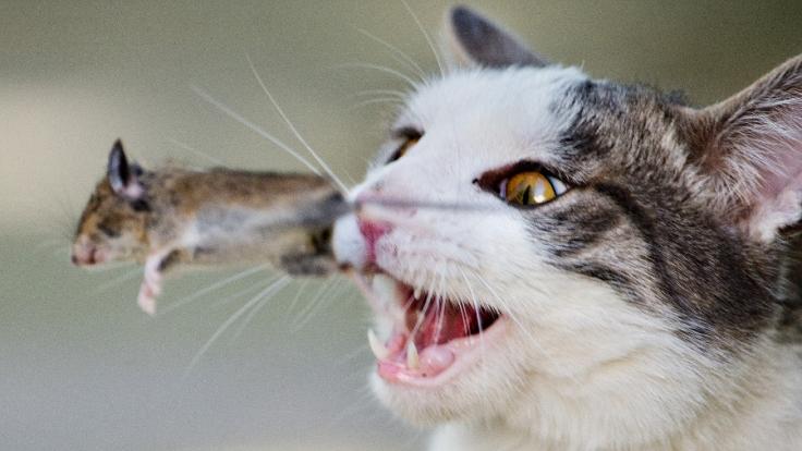 Nach Aussage des Nabu-Chefs reißen Katzen jährlich über 1.5 Millionen Wildtiere.