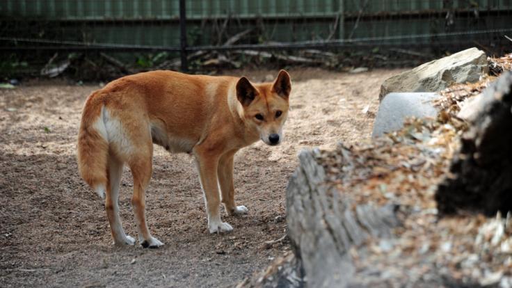 Ein Dingo hat einen 14 Monate alten Jungen in Australien attackiert. (Foto)