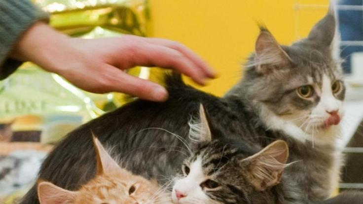 Katzen landen bei einem Appenzeller Bauern auch gern mal auf dem Teller.