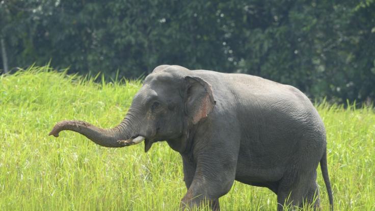 Eine trächtige Elefantenkuh wurde mit einer explosiven Ananas gefüttert.