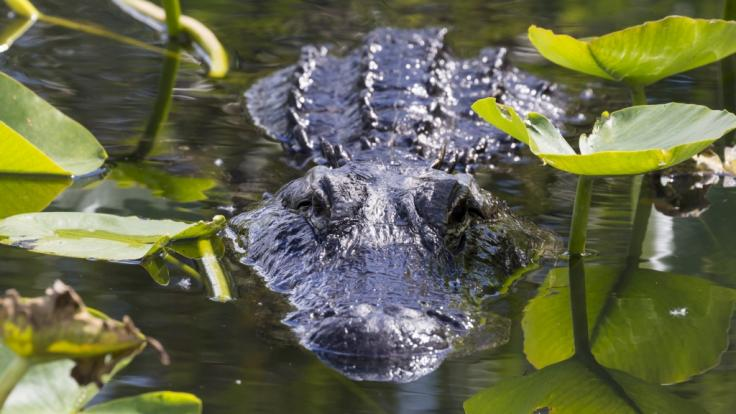 Ein US-Amerikaner filmte einen Monster-Kannibalen-Alligator. (Foto)