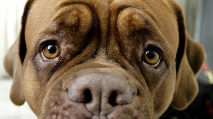 Ein Mann aus den USA wird beschuldigt, einen Hund brutal missbraucht zu haben (Symbolbild). (Foto)