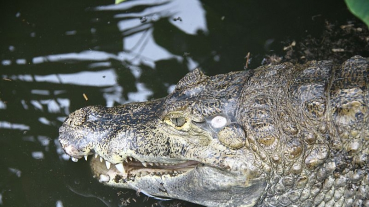 Amsterdamer Krokodil erliegt dem SM-Liebesspiel.