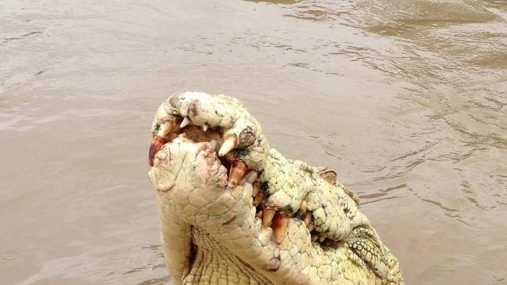 Ein solcher Alligator riss einen Australier in die Tiefe und zerfleischte ihn.