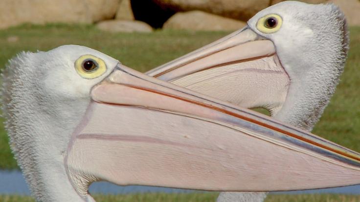 Die Reise der Pelikane bei Arte (Foto)