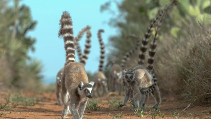 Madagaskar - Bandenkrieg der Lemuren bei Arte (Foto)