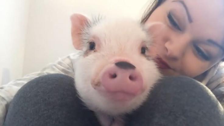 Das kleine Hausschwein Jude begeisterte im Sturm mit einem Youtube-Video die Netzgemeinde.