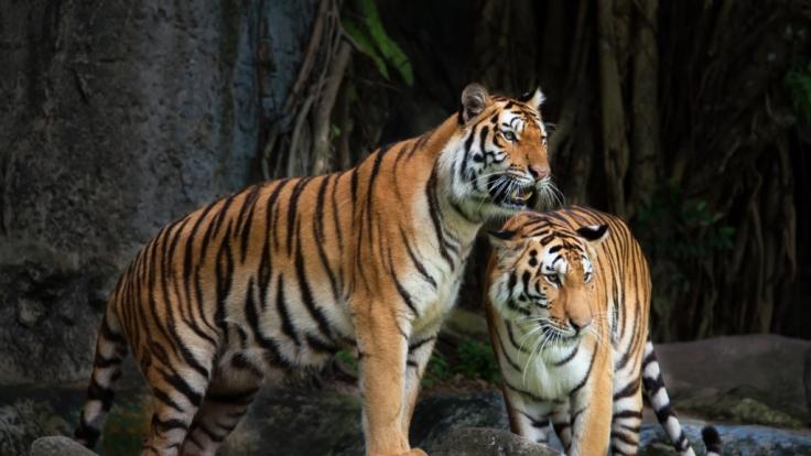 Bei der Paarung zweier malaysischer Tiger kam es im Bergzoo Halle zu einem tragischen Unfall, bei dem Tigerweibchen Momoe starb.