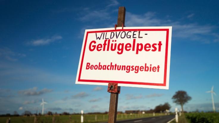Die Vogelgrippe breitet sich in Deutschland rasend schnell aus.