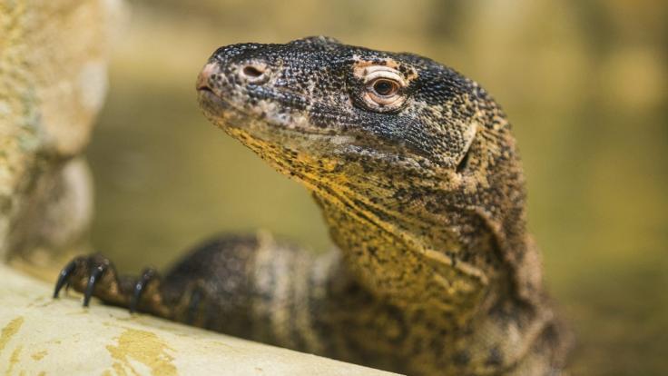 """Indonesien sperrt """"Dracheninsel"""" Komodo für Touristen (Foto)"""
