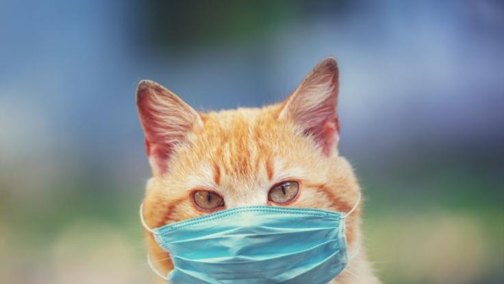 In den USA wurden zwei Hauskatzen positiv auf das Coronavirus getestet. (Foto)