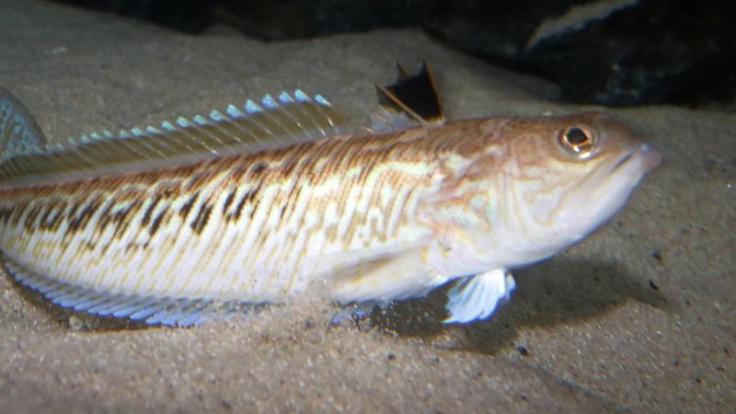 Die 15 bis 50 Zentimeter langen Petermännchen haben einen giftigen Stacheln. Werden die Fische gestört, setzen sie sich damit zur Wehr.