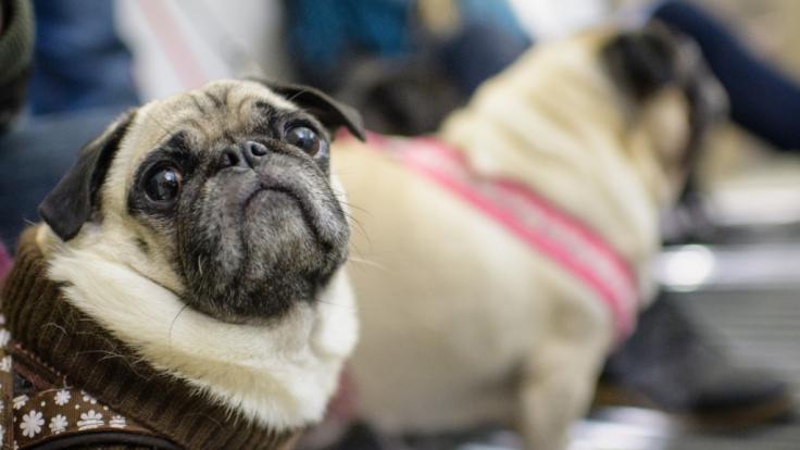 Ein Tierarzt betäubte einen Mops zu Tode. (Symbolfoto) (Foto)