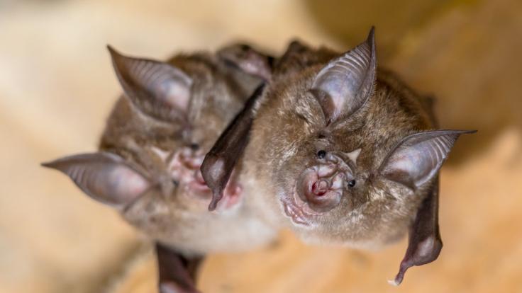 Wissenschaftler entdeckten ein Sars-CoV-2-ähnliches Virus in Fledermäusen in Kambodscha. (Foto)