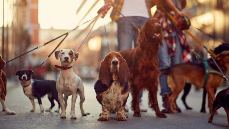Einer Tierliebhaberin aus Wales wurde eine Gassirunde mit ihren Hunden zum tödlichen Verhängnis (Symbolbild). (Foto)