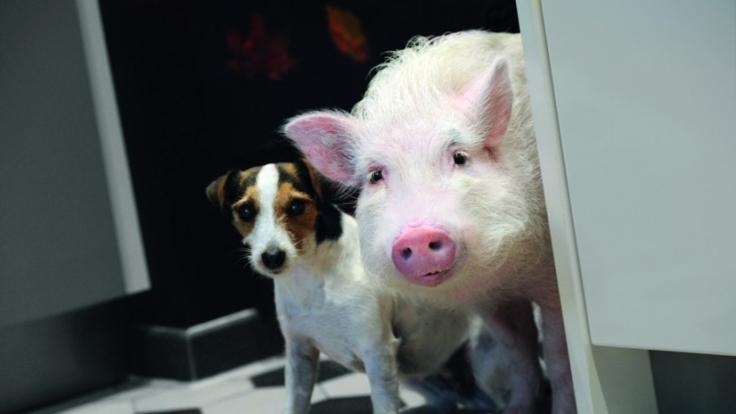 Hausschwein Paula (r.) und Jack Russell Terrier Johnny (l.) wollen der Liebe auf die Sprünge helfen. (Foto)