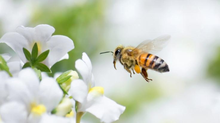 Von solchen Honigbienen ließ sich ein Forscher am ganzen Körper stechen.
