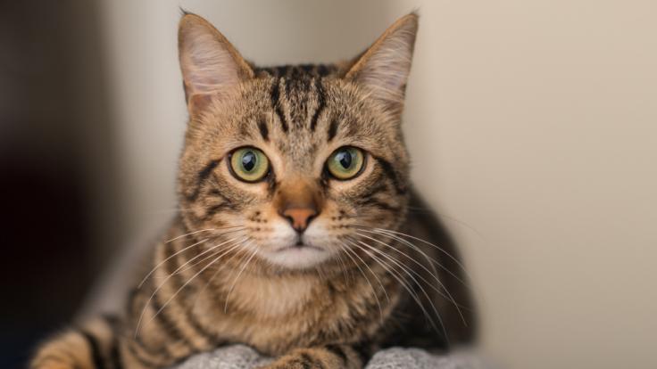 Eine Katze wurde von ihrem Besitzer missbraucht. (Foto)