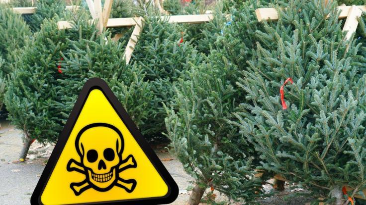 Einige Weihnachtsbäume enthalten Pestizide, die Sie lieber nicht im Wohnzimmer haben wollen. (Foto)
