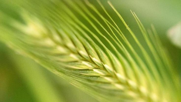 Bei Zöliakie führt der Verzehr von in Getreide enthaltenem Gluten zu Entzündungen im Dünndarm. (Foto)
