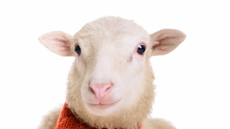 Müssen wir uns vor der Schafskälte fürchten?