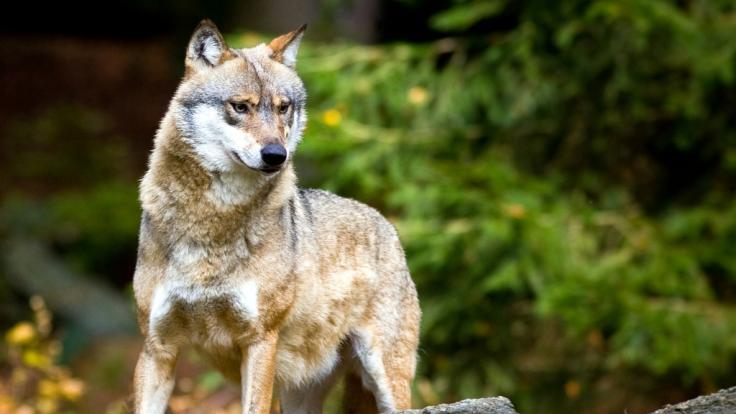 Problemwolf zwischen Ausrottung und Artenschutz (Foto)
