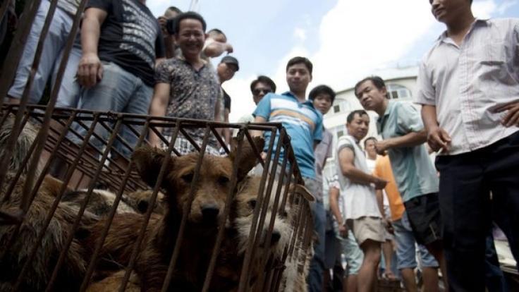 Um die 10.000 Hunde lassen ihr Leben auf grausame und unwürdige Weise beim Yulin Schlachtfest. Teils auch Katzen. (Foto)