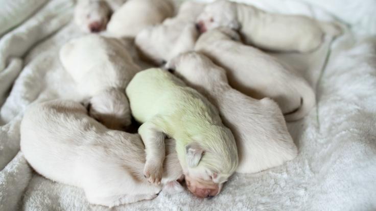 """In Wermelskirchen im Rheinisch-Bergischen Kreis ist in einem Wurf weißer Golden-Retriever-Welpen ein mintgrüner Baby-Hund zur Welt gekommen, der auf den Namen """"Mojito"""" getauft wurde. (Foto)"""
