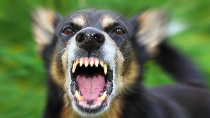 Dutzende Hunde sollen eine 13-Jährige zerfleischt haben. (Foto)
