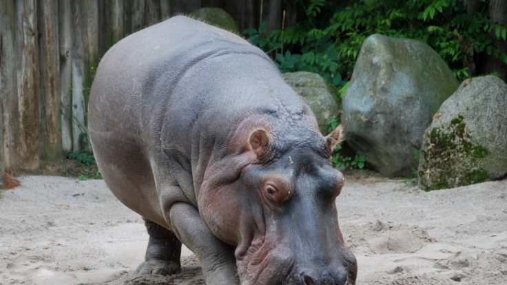 Das Flusspferd Maikel ist im Frankfurter Zoo gestorben. (Foto)