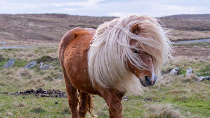 Ein Shetlandpony in England wurde Opfer von einem Vergewaltiger, der gern Sex mit Pferden hat. (Foto)