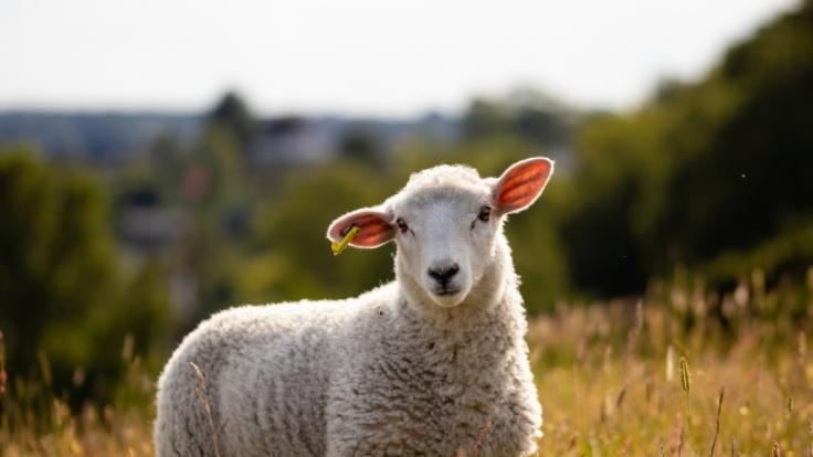 Im australischen Bundesstaat South Australia erobert ein fünfbeiniges Mutanten-Schaf die Herzen. (Foto)