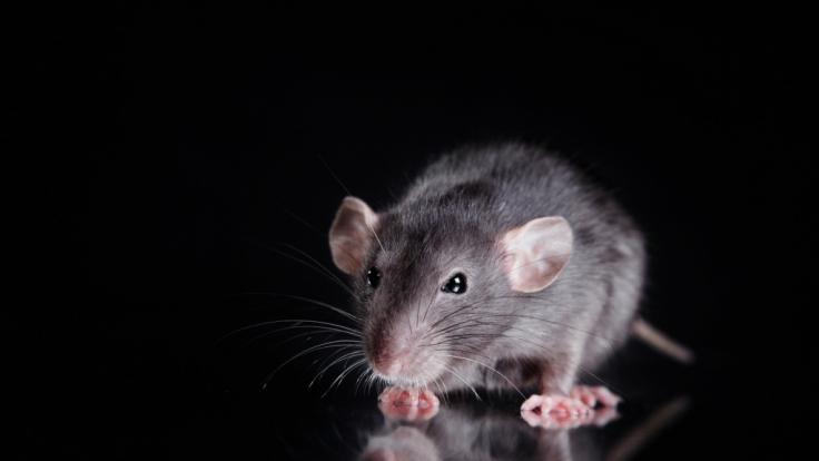 Ratten haben in Johannesburg ein Baby angefressen. (Foto)