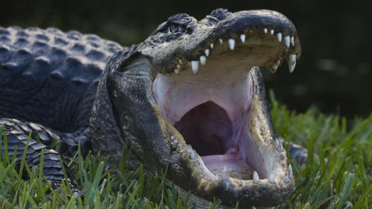 Ein Alligator ging in Florida förmlich in die Luft. (Foto)