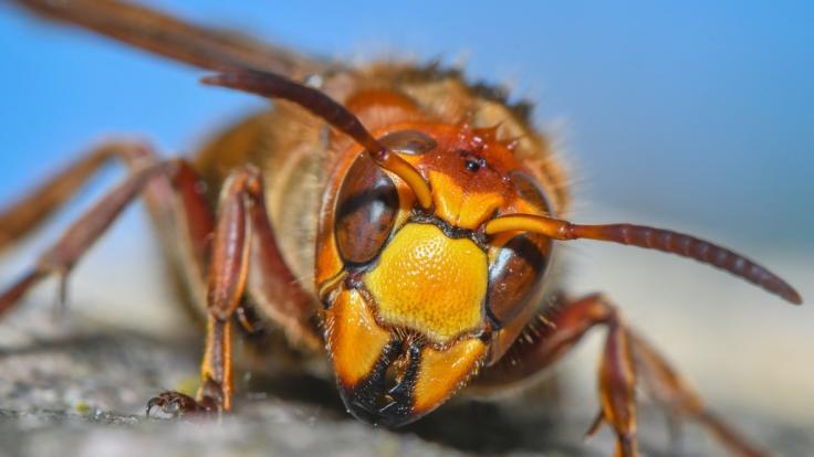 Aggressive Wespen haben mehrere Schüler in NRW auf einem Schulhof angegriffen. (Foto)