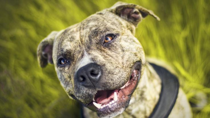 Pitbulls sind loyale, familienorientierte Hunde. Sasha aus Kalifornien hat das bestätigt. (Symbolfoto) (Foto)