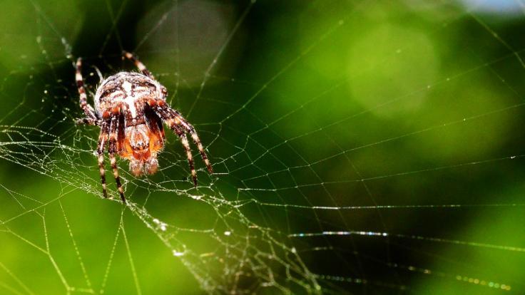 Kreuzspinnen sind giftig, allerdings gibt es noch viel gefährlichere Tiere in Deutschland.