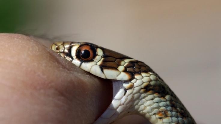 Eine Schlange soll eine 76-jährige Frau in einem Supermarkt in Thüringen gebissen haben - noch fehlt von dem Reptil allerdings jede Spur (Symbolbild). (Foto)