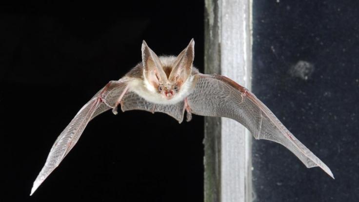 Die Fledermaus lässt sich mit Oralsex zur Fortpflanzung stimulieren. (Foto)