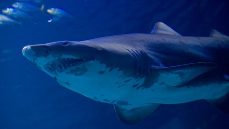 Am Ballermann sorgt ein Hai für Angst und Schrecken. (Symbolbild)