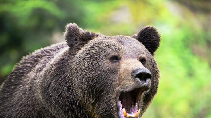In China haben acht Bären einen Tierpfleger zerfleischt. (Foto)