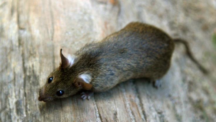 Eine Ratte frisst in einer Parkanlage in Berlin Abfall.