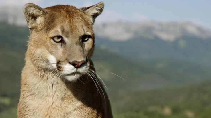 In Colorado hat ein Puma einen Jogger angegriffen. (Symbolbild)