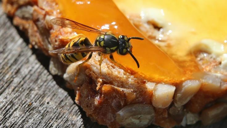 Wespen sind in diesem Jahr eine echte Plage.